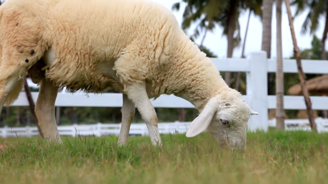 Sheep is grazing in a farm video