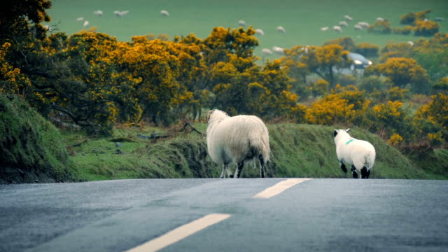 Sheep Leads Lamb Across Road In The Country video