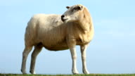 Sheep looks over video