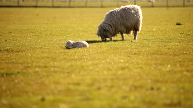 Sheep may safely graze video