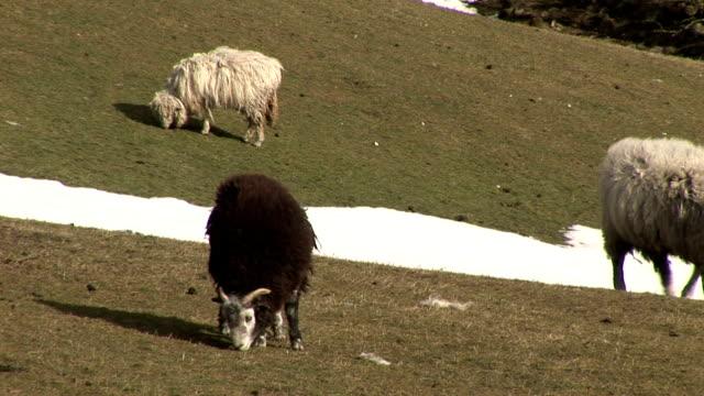 Sheep on a farm video