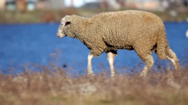 Sheep on pasture. video