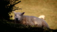 Sheep Rests In Shade On Hot Day video