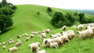 Sheep running down a hill video