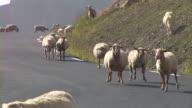 HD: Sheep running loose video