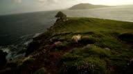 Sheep Runs Across Bluff - Ring of Kerry, Ireland - Pan video