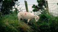 Sheep Scramble Under Fence Into Field video