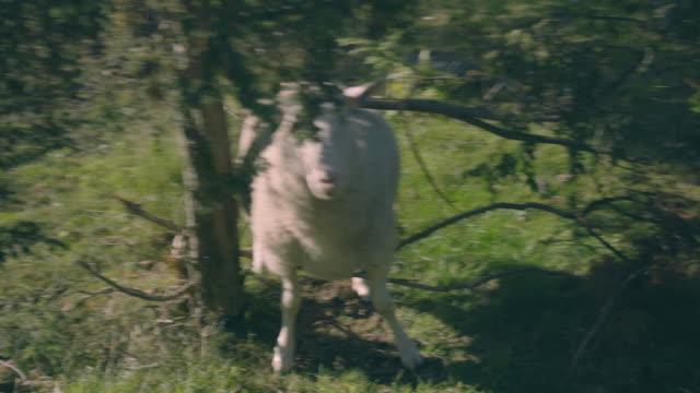 Sheep Stuck In Tree video