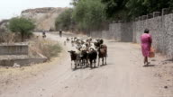 Sheep walking together video