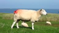 Sheep with red marking video