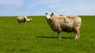 Sheeps at a levee video