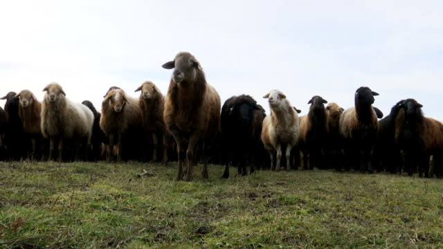 Sheeps . Breeding Lambs on the Farm . Sheep Grazing in a Meadow 3 video