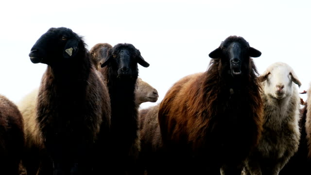 Sheeps . Breeding Lambs on the Farm . Sheep Grazing in a Meadow 4 video