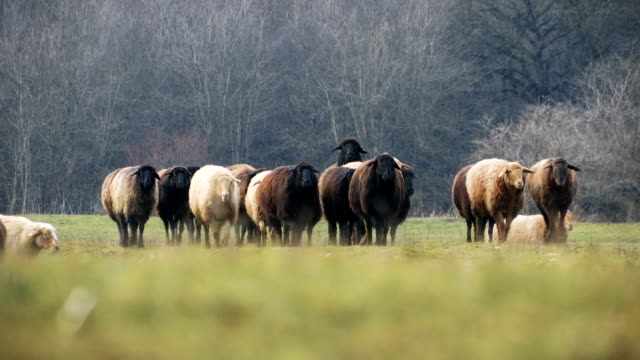 Sheeps . Breeding Lambs on the Farm . Sheep Grazing in a Meadow . Slider 2 video