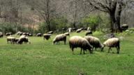 Sheeps feasting video