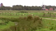 Sheeps grazing, Dutch windmill in the background video