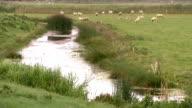 Sheeps grazing in grassfield video