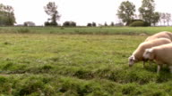 Sheeps grazing in meadow video