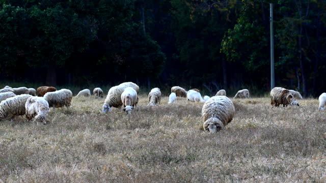 Sheeps in dry grass field video