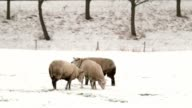 sheeps in snow video