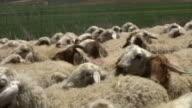 Sheeps in spring video