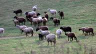 sheeps on field in Austria video