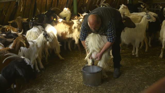 Shepherd working in farm, milking goat video