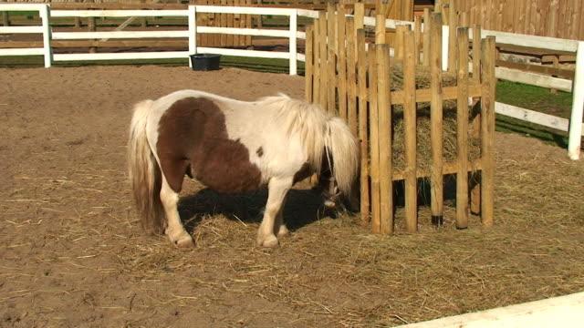 Shetland Pony video