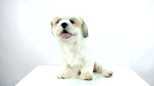 Shih Tzu dog sitting on a table while looking into the camera on white background. video