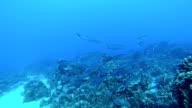 Shoal Fish video