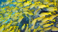 Shoal of Bluestripe Snapper , Lutjanus kasmira video