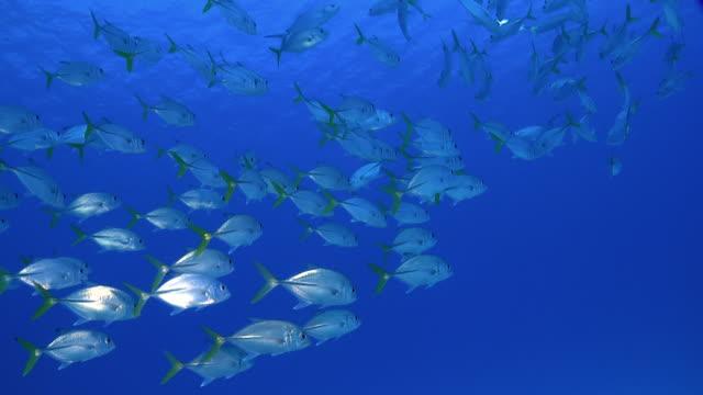 Shoal of Caribbean fish against blue open ocean video