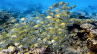 Shoal of Convict Surgeonfish on coral reef - Maldives video