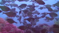 Shoal of Dusky Sweepers video
