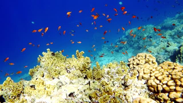 Shoal of Sea goldie video