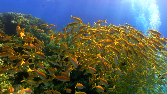 Shoal of Yellow Fish on Coral Reef video