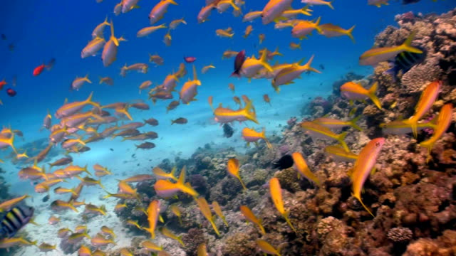 shoal of yellow fish on the coral reef video