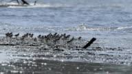 Shorebird, Migrant birds in Thailand coastline video