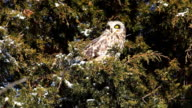 Short-Eared Owl, Asio flammeus, perched in tree video