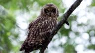 Short-eared Owl video