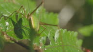 Shot of a cricket amid the leaves of plants jumping, made in a resolution of 4k Ultra HD video