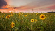 T/L 8K shot of a field of sunflowers at sunset video