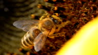 HD MACRO: Shot Of A Honey Bee video