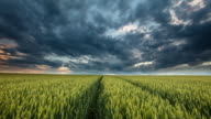 T/L 8K shot of a stormy cloudscape over wheat field video