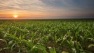T/L 8K shot of a sunrise over young corn plants video