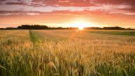 T/L 8K shot of a sunset cloudscape over wheat field video