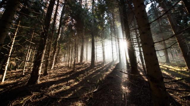 T/L 8K shot of coniferous forest at sunrise video