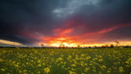 T/L 8K shot of dramatic sunset scene over canola field video