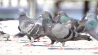 SLO MO Shot of pigeon in city video