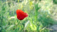 HD:  Shot of red poppy with green background video